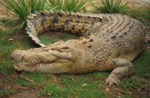crocodile-images74128367d9d5b7d5.jpg